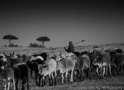 A black and white photo of a Maasai herdsman tending to his cattle in the Maasai Mara, Kenya