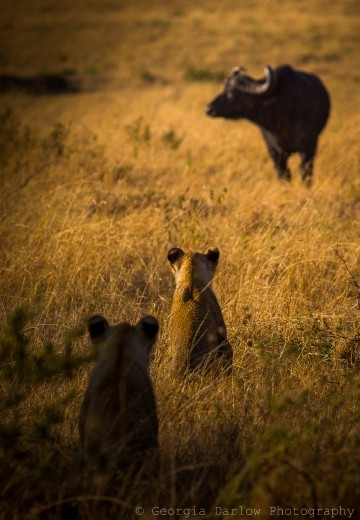 A couple of lioness sit, wait and watch their potential prey of buffalo in the Maasai Mara, Kenya