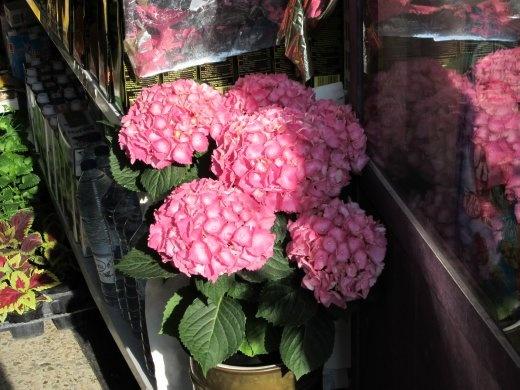 Beautiful pink hydrangeas