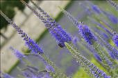 This picture captures the majesty and beauty of Lavender in the Louvre Gardens –: by gildeddreams, Views[146]
