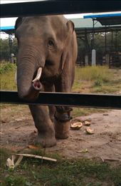 Elephant with prosthetic foot: by gina_holley, Views[224]