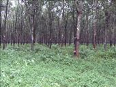 rows and rows of rubber trees: by glimmerwing, Views[89]