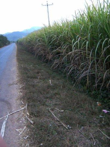 sugar cane anyone?