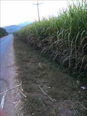 sugar cane anyone?: by glimmerwing, Views[203]