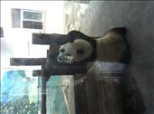 Giant Panda- Taiyuan Zoo: by globalspirit, Views[106]