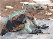 Varied coloured marine Iguanas so tame. : by globaltracks, Views[137]