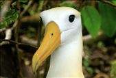 Waved Albatross such wonderful birds.: by globaltracks, Views[82]