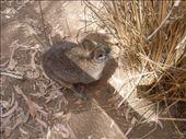 Wallabies are everywhere at Phillip Island.: by gnocchimandu, Views[190]