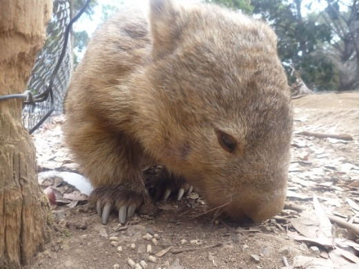 The Wombat.