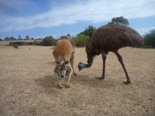 Kangaroos & Emus. 