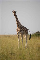 Girraffe While On Safari: by godt2009, Views[141]