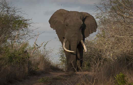 The largest tuskers in the world reside in Tembe Elephant Reserve