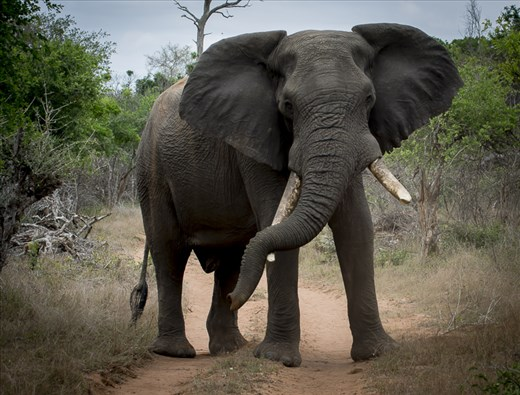 An elephant rests its trunk (which can weigh up to 350lbs) on his tusk
