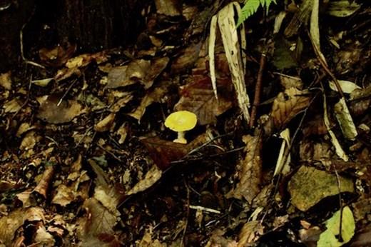 Mushroom along the trail, Shirakami-sanchi