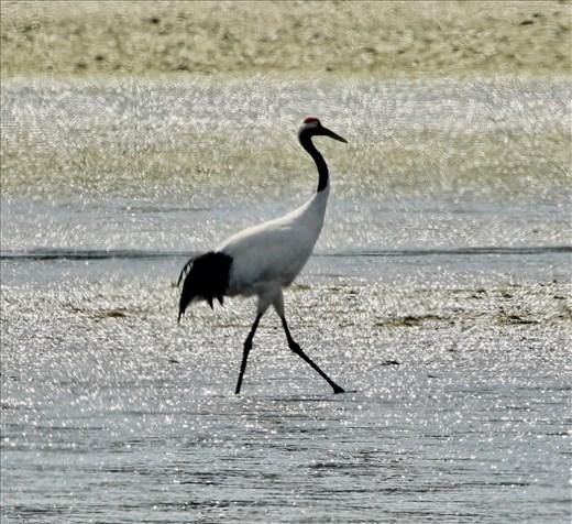 Red-Crowned Crane, Shunkunitai Wild Bird Sanctuary