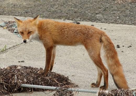 Ezo Red Fox, Shunkunitai Wild Bird Sanctuary