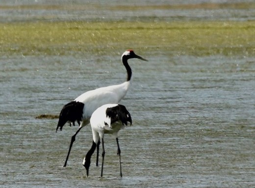 Red-Crowned Cranes — Till Death Do Us Part