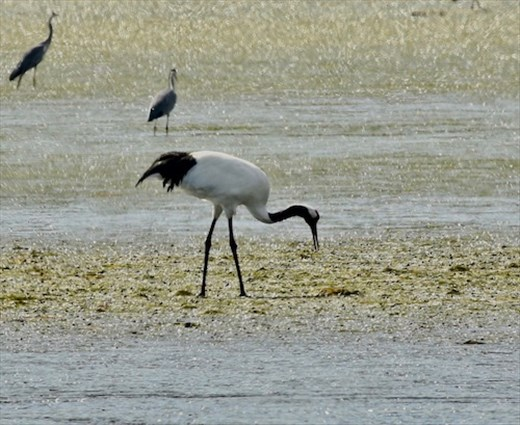 Bigger than great gray herons, Shunkunitai Wild Bird Sanctuary