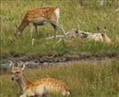 Sitka deer and fawn, Shunkunitai Wild Bird Sanctuary: by graynomadsusa, Views[26]