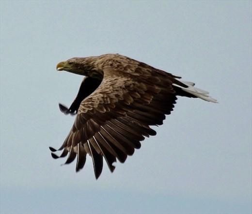 White-tailed Eagle, Sea of Okhtosk