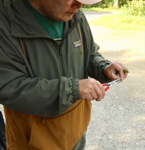 Banding a warbling white-eye, Lake Utonai Sanctuary
