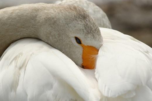 Whooper Swan, Lake Utonai Sanctuary