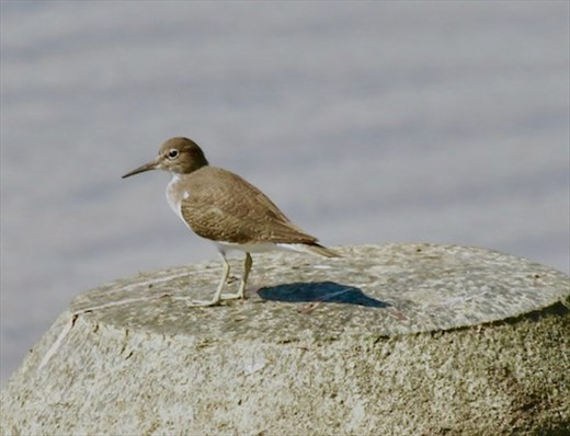 Common Sandpiper, Ishigaki