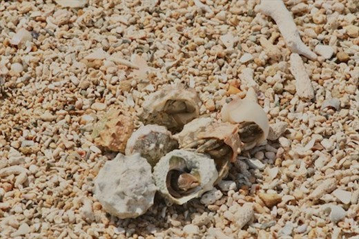 Cluster of hermit crabs playing musical shells, Ishigaki