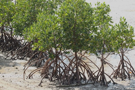 Healthy Mangroves, Nagura Anparu