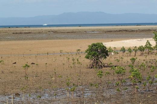 Newly planted Mangroves, Nagura Anparu Wetlands