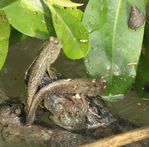 Mudskippers, Manko Wetlands, Okinawa