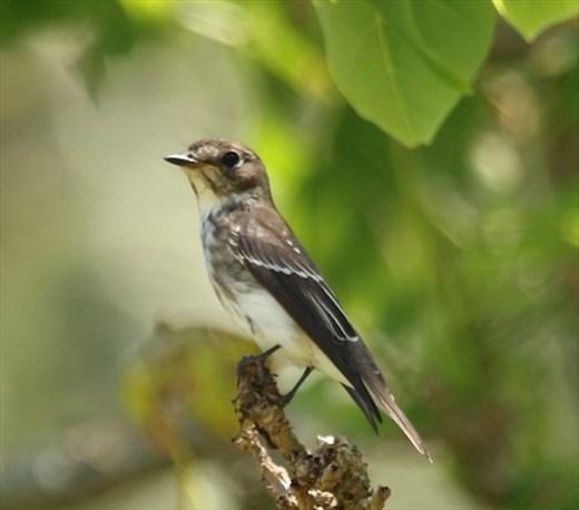 Gray-streaked Flycatcher, Ikema