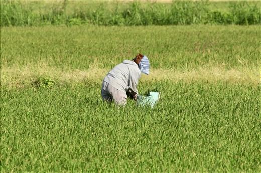 Working the rice paddy, Ishigaki