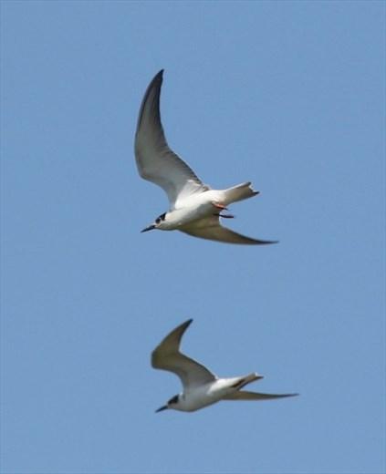 White-winged terns, Ikema