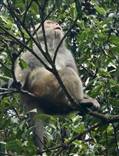 Formosan Rock Macaque, Daxueshan NP: by graynomadsusa, Views[8]