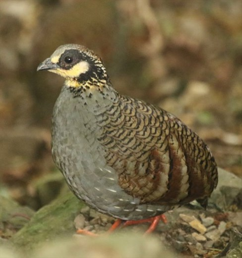 Bird of the day, Taiwan Partridge, Daxueshan NP