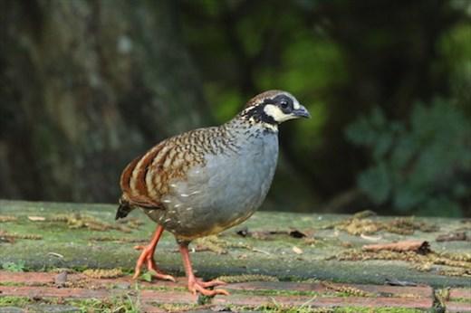 Bird of the day, Taiwan Partridge, Daxueshan NP
