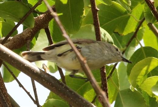 Fan-tailed Gerygone, Ile des Pins