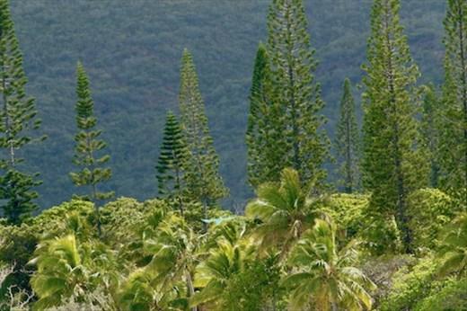Namesake pines, Ile des Pins