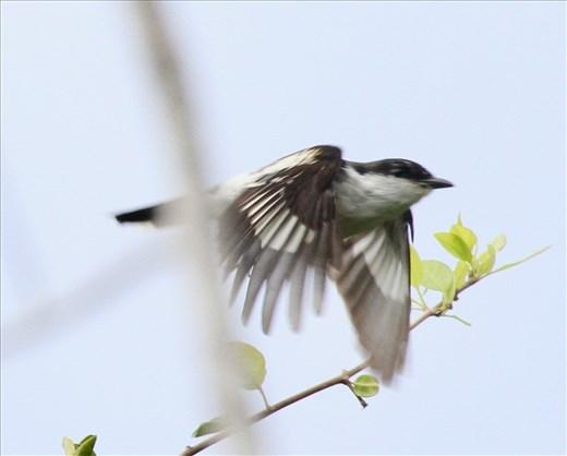Long-tailed Triller, Lifou
