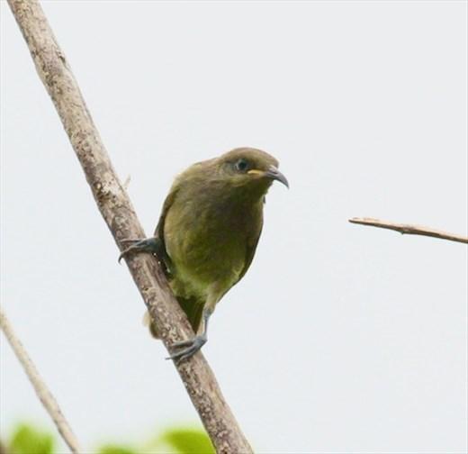 New Caledonian Myzomela