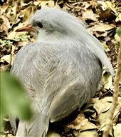 Endangered Kagu, Noumea: by graynomadsusa, Views[39]