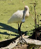 Royal Spoonbill, Hunter Wetlands: by graynomadsusa, Views[23]