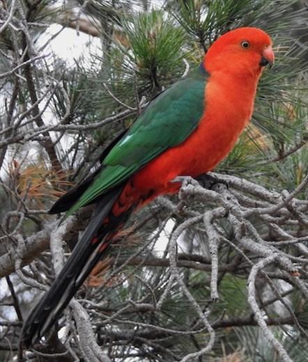 Australian King Parrot, Springmead Stud Farm B&B, Rydal