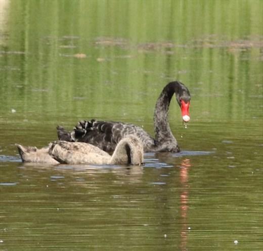 Black Swans, Hunter Wetlands