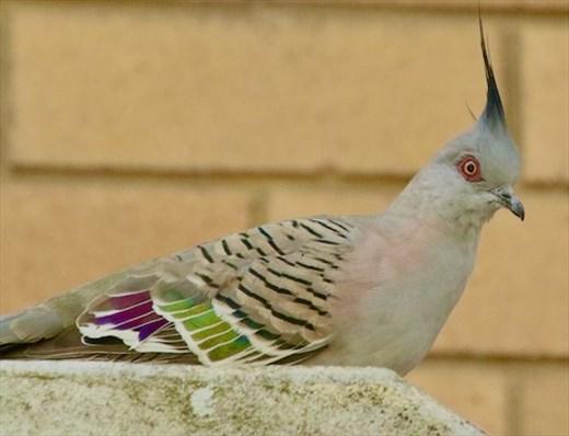 Crested Pigeon, Hunter Wetlands