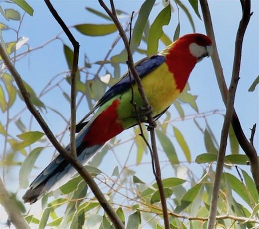 Eastern Rosella,  Capertee Valley NSW