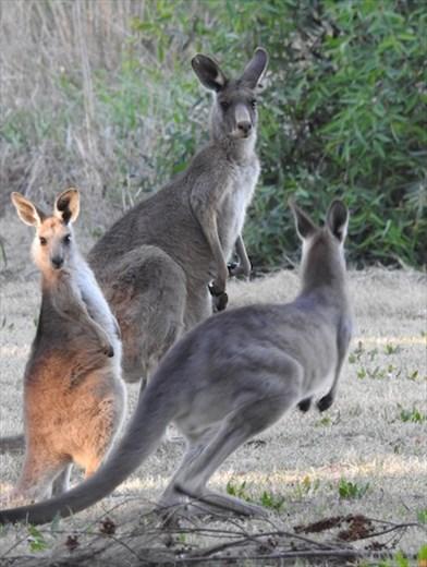 Gray Kangaroos, Dubbo