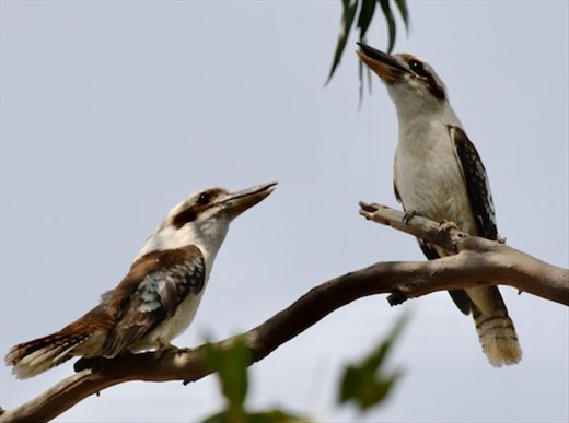 Laughing Kookaburras, Capertee Valley, NSW