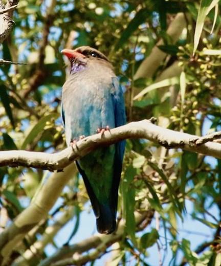 Oriental Dollar Bird, Hunter Wetlands